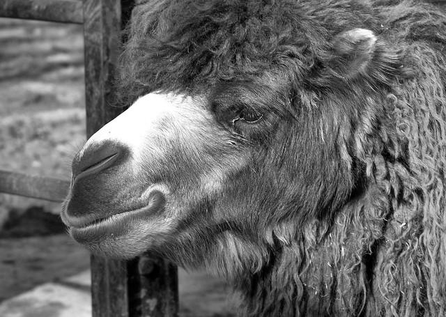 Camello byn