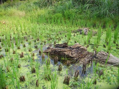 收割後的水稻田,水生植物小穀精草散落其中,間中疏落放置燒過的稻草用以抑制草生速度,這些將為土地儲存肥力。廖靜蕙 攝