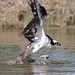 An Osprey Fighting to Get Airborn by rivadock4