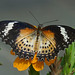 Malay Lacewing / Cethosia hypsea