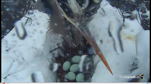 Nesting Great Blue Herons in snowstorm