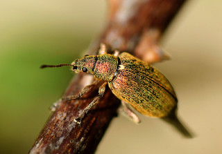Golden weevil (Phyllobius pomaceus) 6mm