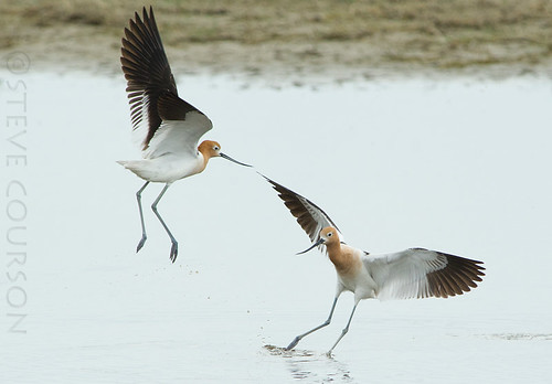 american avocets dancing