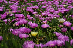 grass(0.0), chives(0.0), annual plant(1.0), prairie(1.0), flower(1.0), plant(1.0), herb(1.0), wildflower(1.0), flora(1.0), meadow(1.0), ice plant(1.0),
