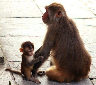 Monkey mother with child in front of sunset in Nepal (www.kunst-und-gedanke.de)