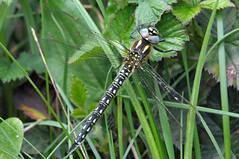 Hairy Dragonfly- Brachytron pratense