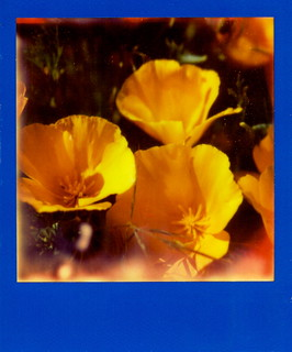 California Poppies IV