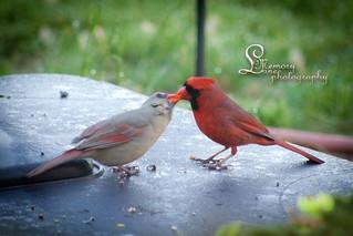 Kissin' cardinals