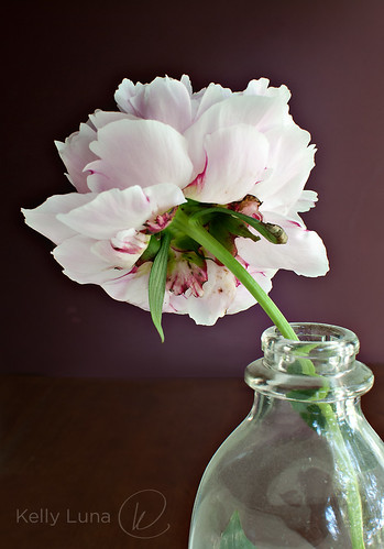 single peony-back