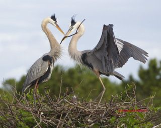 Great Blue Heron Courtship Exchange Of A Stick Wakodahatchee Wetlands