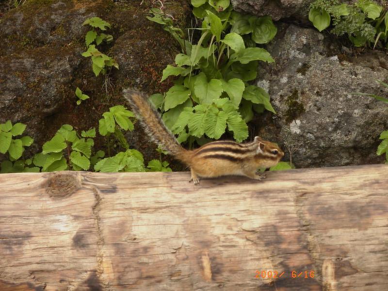 060黑岳松鼠