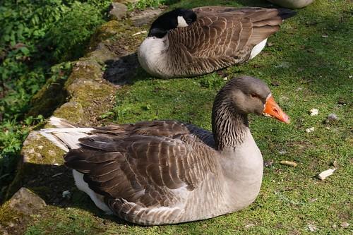 Greylag Goose by john47kent