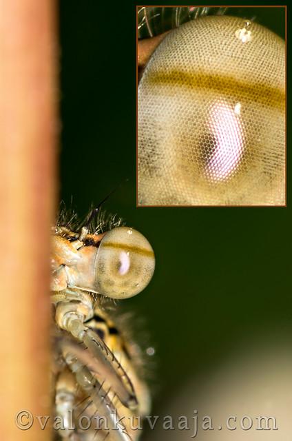 Makrokuvaus - sudenkorento