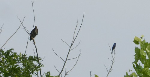 Green Heron and Blue Grosbeak