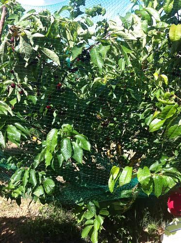 Begues | Apadrina Cirerers | Cerezo con red para proteger de los pájaros