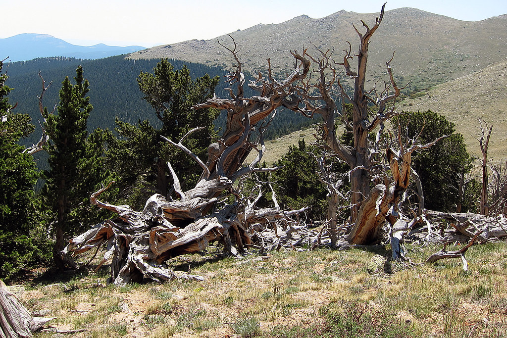 mountain driftwood