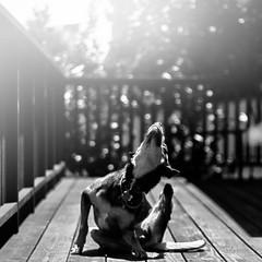 [フリー画像素材] 動物 1, 犬・イヌ, モノクロ ID:201207021000
