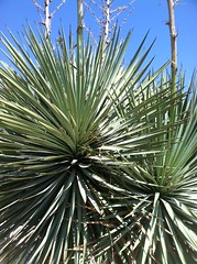 agave(0.0), flower(0.0), saw palmetto(0.0), arecales(1.0), tree(1.0), plant(1.0), flora(1.0), agave azul(1.0),