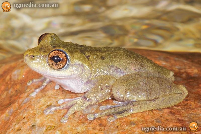 Common mist frog (Litoria rheocola)