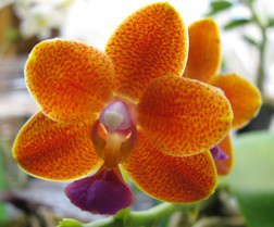 Phal I-Hsin Salmon 'Joy No. 3,' 5 6 09, smaller