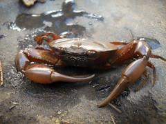 crab, animal, freshwater crab, shellfish, crustacean, invertebrate, fauna,