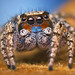 Male Habronattus sp. - Arizona