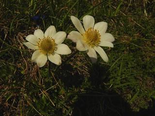 Anemone baldensis=Anémone du Mont Baldo