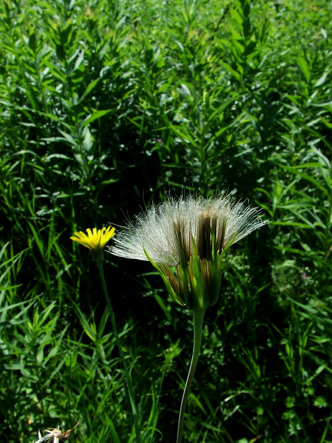 goat's-beard seedhead and flower