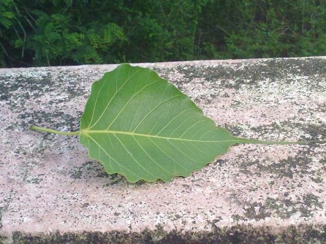 banyan tree leaf - photo #27