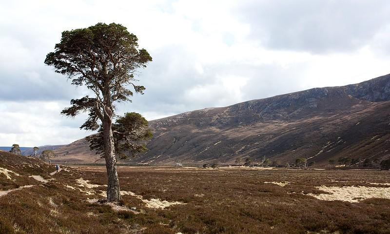 Glen Derry Pine