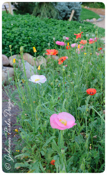 Poppies-near-Path