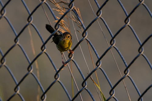 Common Yellow-throat_9216.jpg