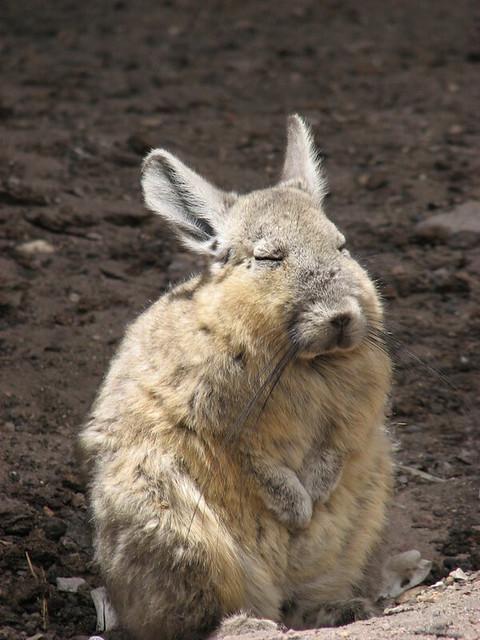 Header of viscacha