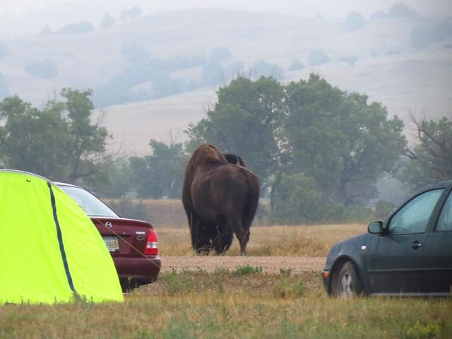 Bison Woke me up