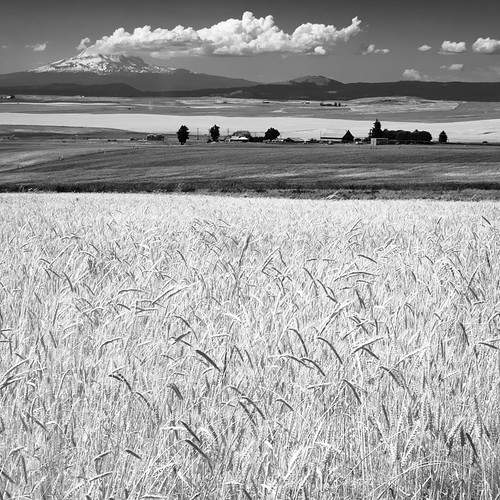 adams wheat fields