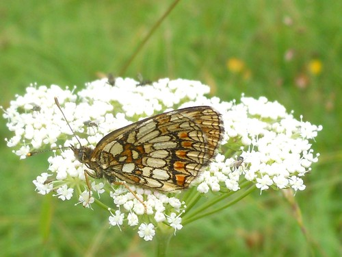 Butterfly (Melithaea athalia) on a wildflower