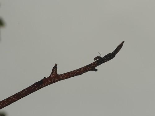 エゾサビカミキリ