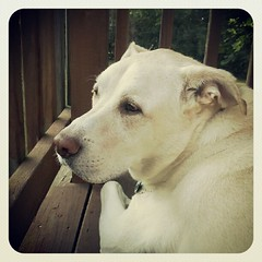 My big guy #dogs #deck #summer #relax