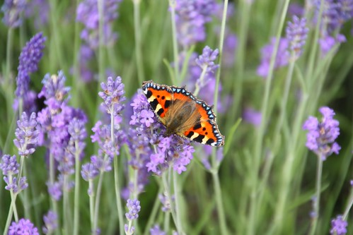 Lavender Border with Butterfly at Chatsworth