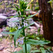 Small photo of Lobelia inflata - Puke Weed