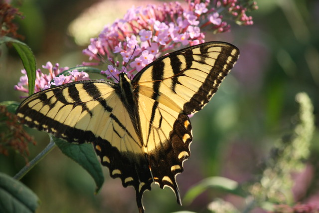 yellow swallowtail 1