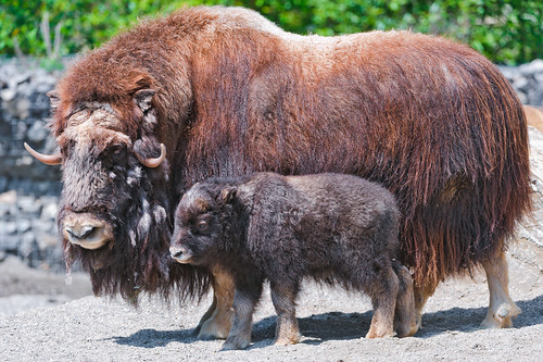 無料写真素材, 動物 , 哺乳類, 牛・ウシ, アメリカバイソン, 動物  親子
