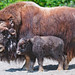 Small photo of Musk ox and calf