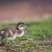 Duckling on the run by David de Groot