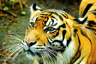 Female Sumatran Tiger, Mannis of Ueno Zoo / スマトラトラのマニス♀(上野動物園)