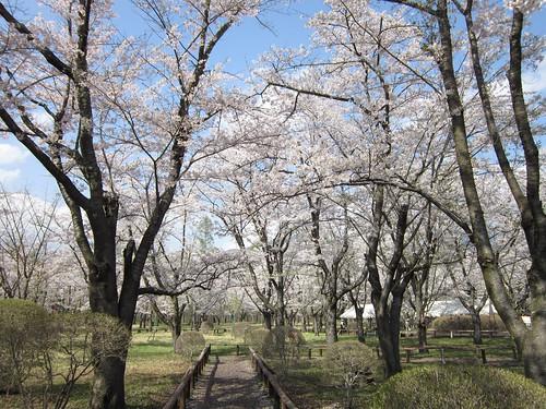 聖光寺境内の桜 2012年5月7日14:48 by Poran111