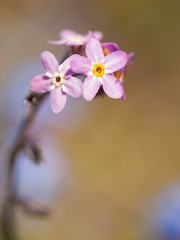Forget-me-nots - Photo of Fougerolles-du-Plessis