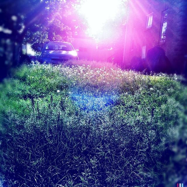 dandelion lawn pic evolution 2