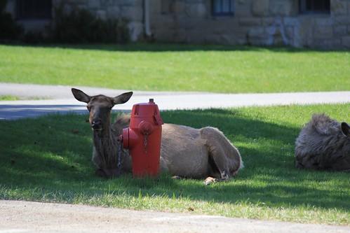Fire Hydrant Guard Elk