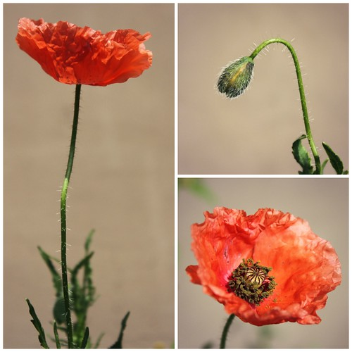 Poppy Collage